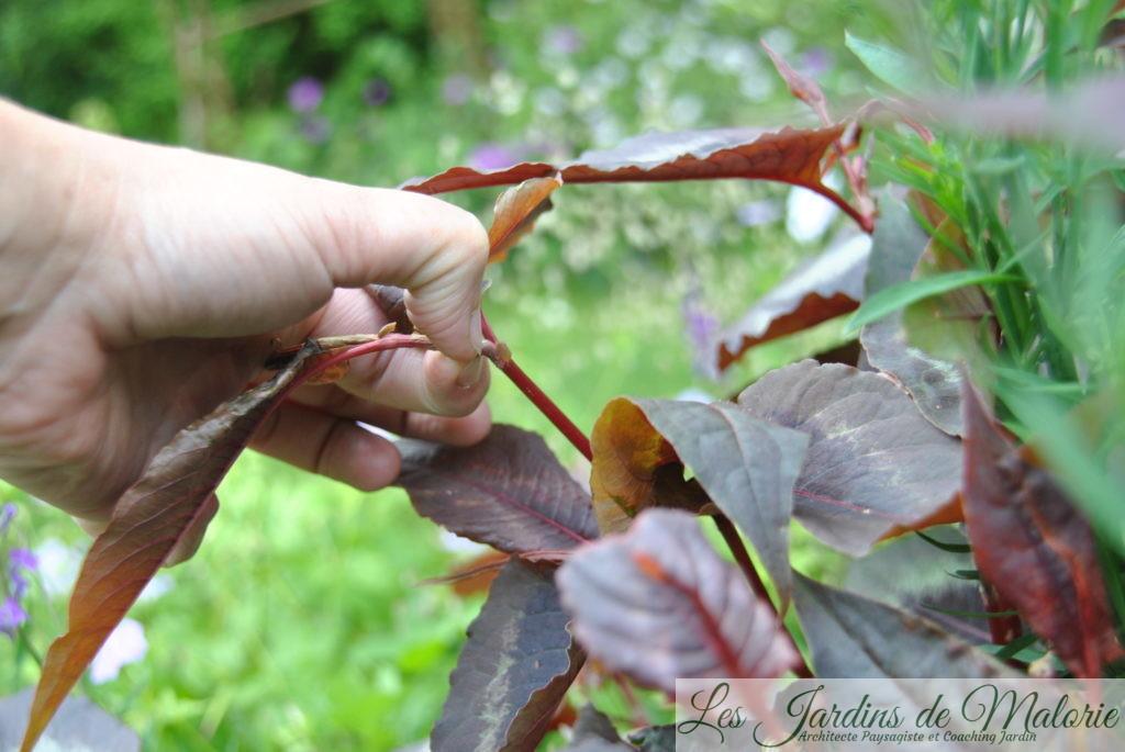 pincer les vivaces estivales et automnales (Chelsea Chop)
