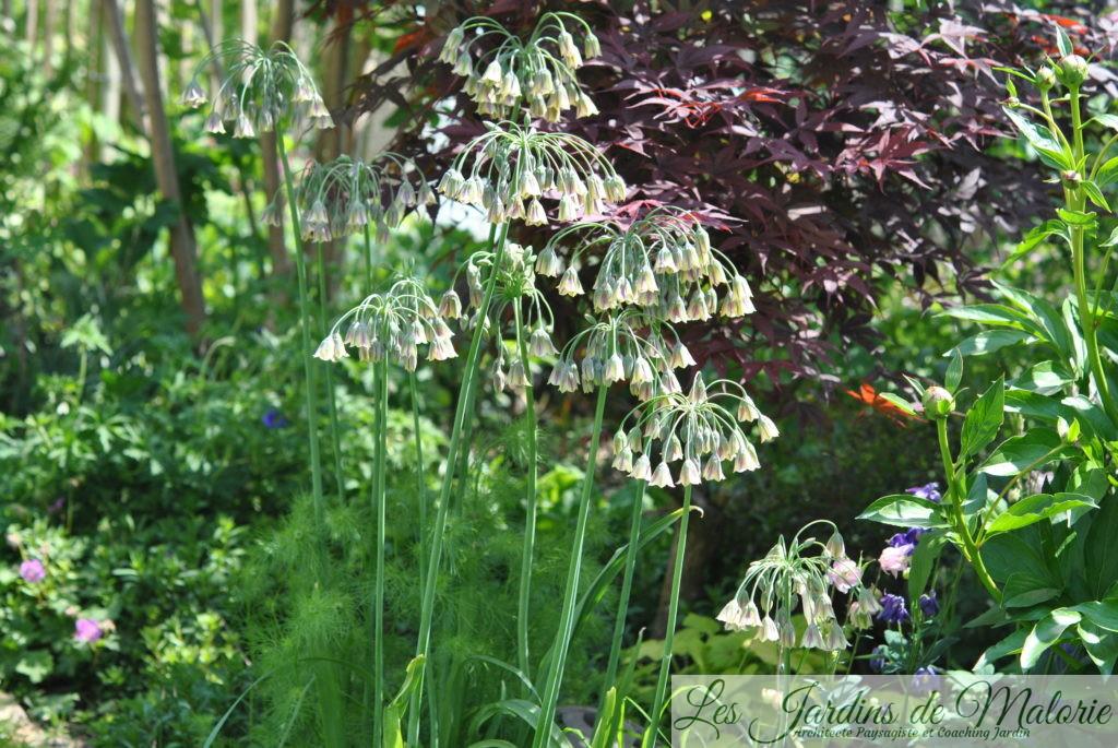 allium nectaroscordum