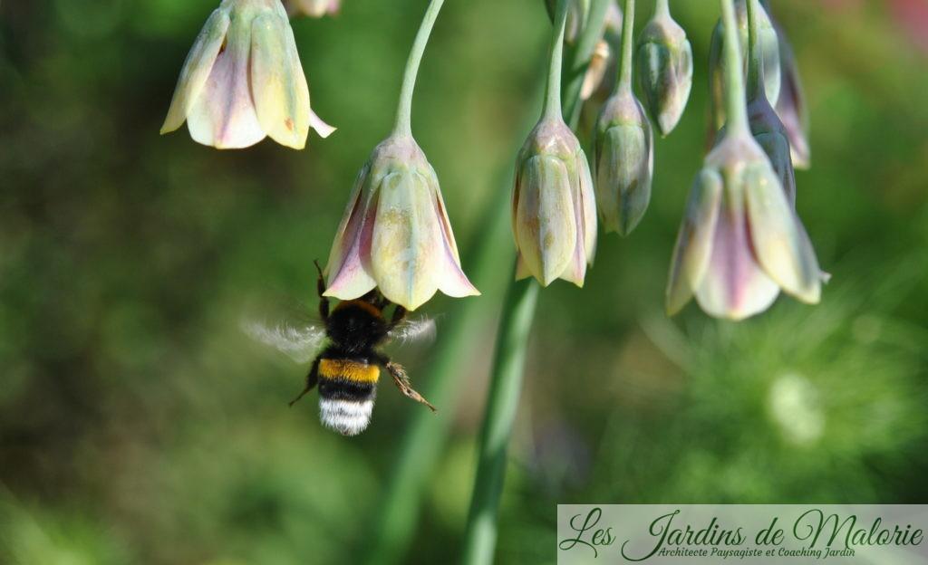 butinage d'allium nectaroscordum