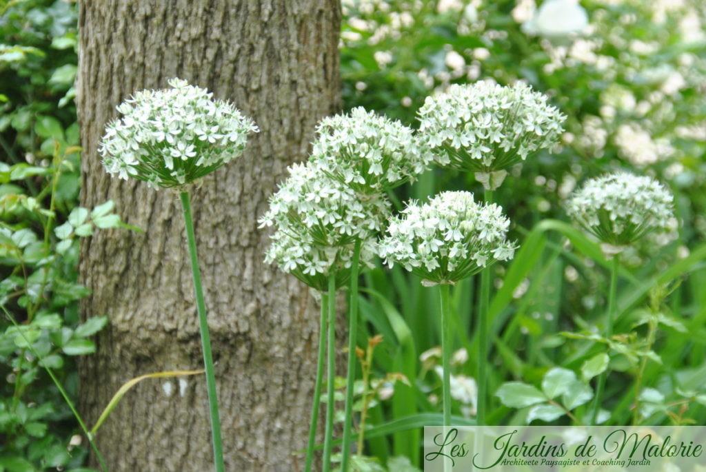 Ciboulette de Chine - Allium tuberosum