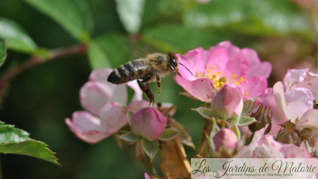 abeille mellifère sur le rosier 'Puccini'
