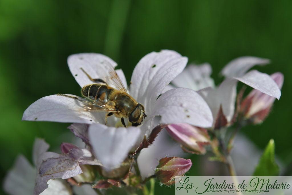 insecte: eristale sur la campanule 'Loddon Anna'