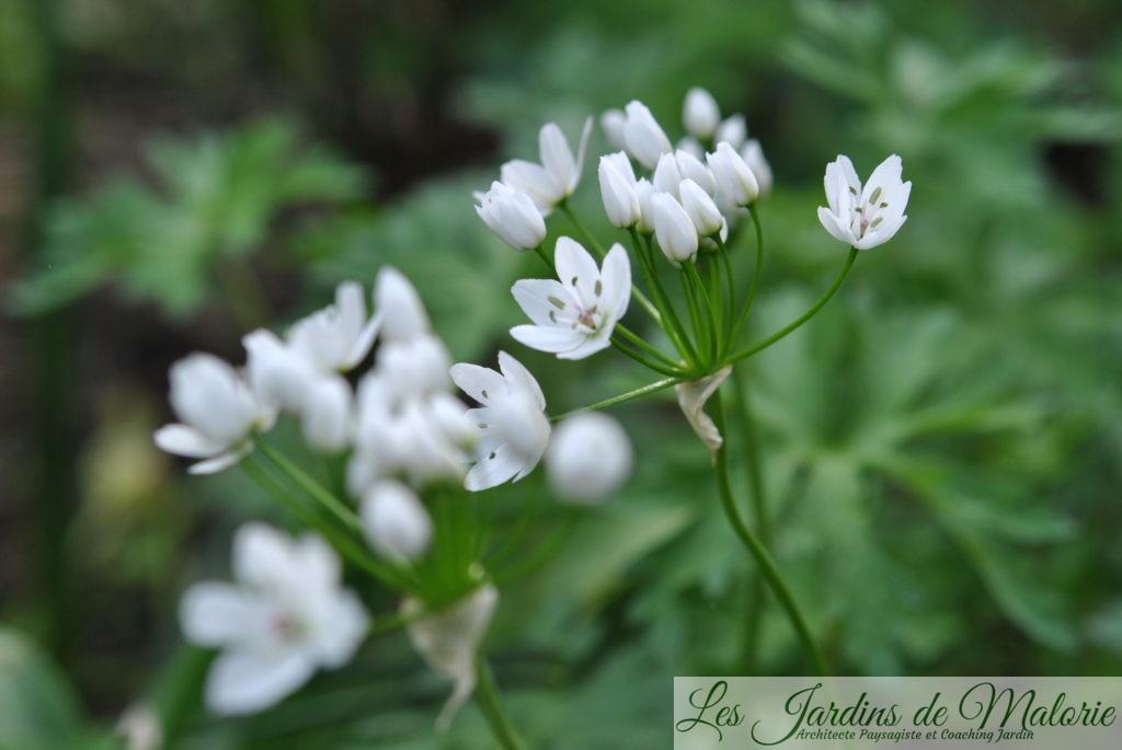 Allium neapolitanum ou Ail de Naples,
