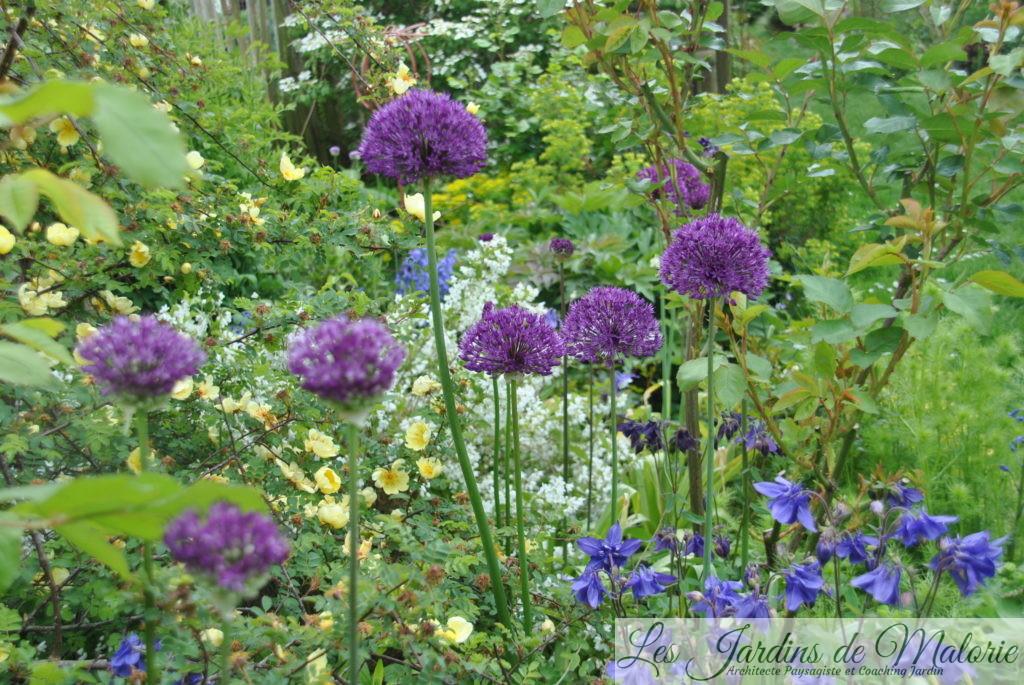 rosa 'Hugonis' et alliumaflatunense 'Purple Sensation'