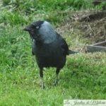 🐦 Oiseaux du jardin: le choucas des tours