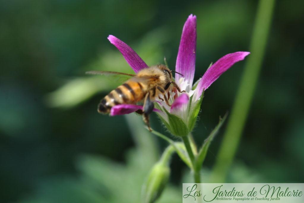 géranium 'Sherwood' butiné par Apis mellifera, l'abeille mellifère (10 à 12 mm)