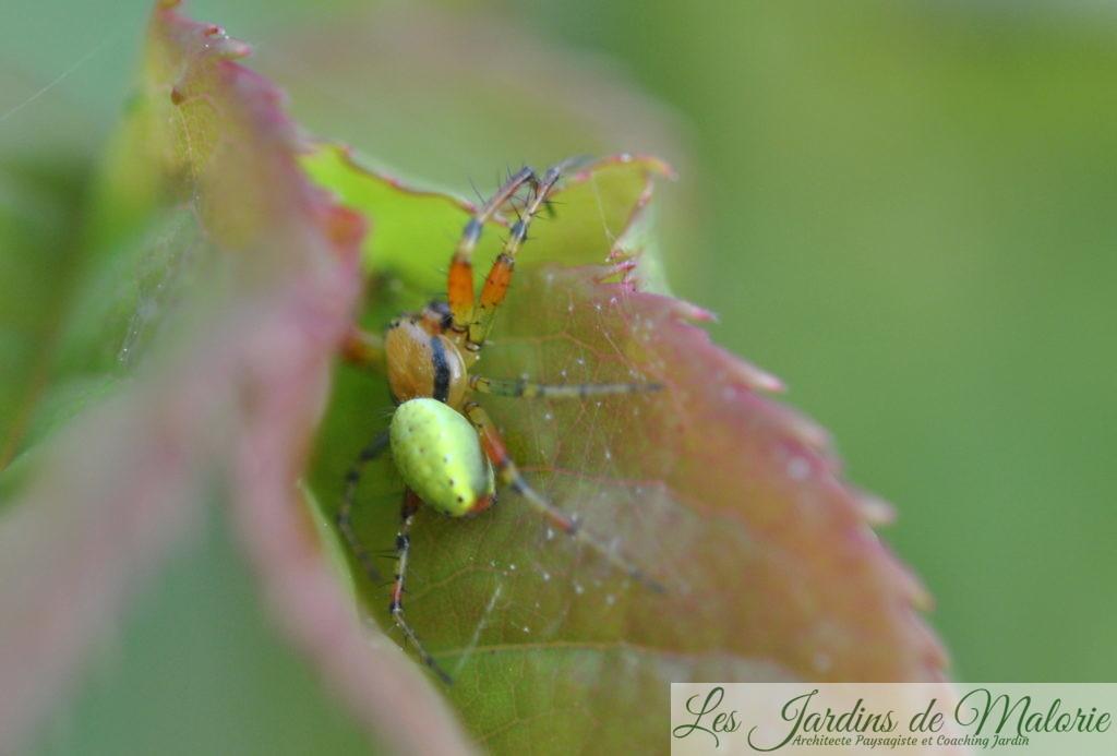 Araignée Araniella cucurbitina (mâle en tenue estivale, vert pistache). Les femelles atteignent en moyenne 7 mm et les mâles maximum 4,5 mm.