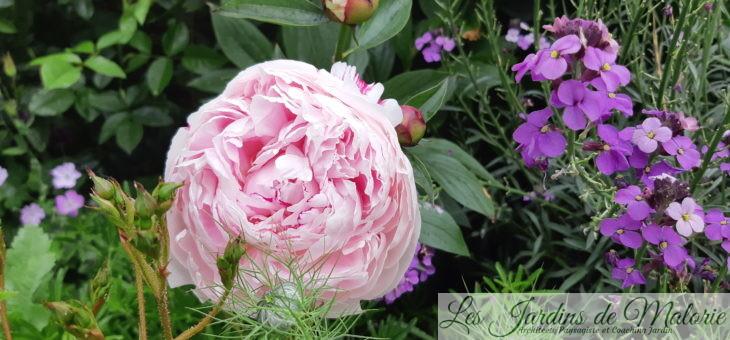 Chroniques de mon jardin: mes roses vous attendent!