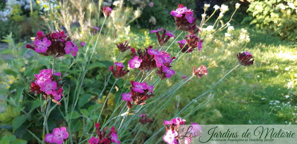 Dianthus carthusianorum (Oeillet des chartreux)