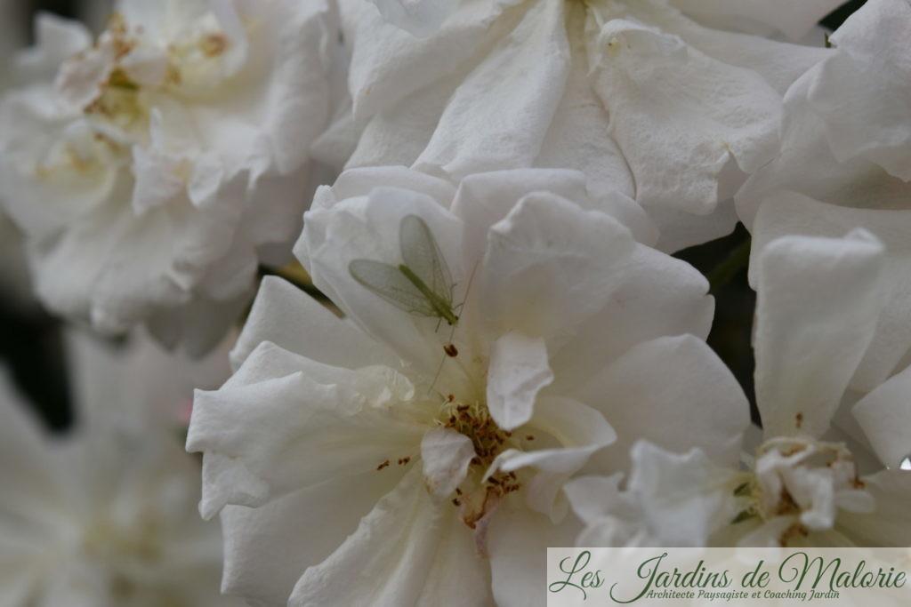 chrysope, demoiselle aux yeux d'or, sur une rose d'Adélaïde d'Orléans'