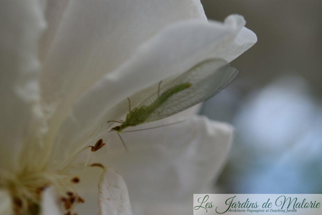 chrysope, demoiselle aux yeux d'or, sur une fleur