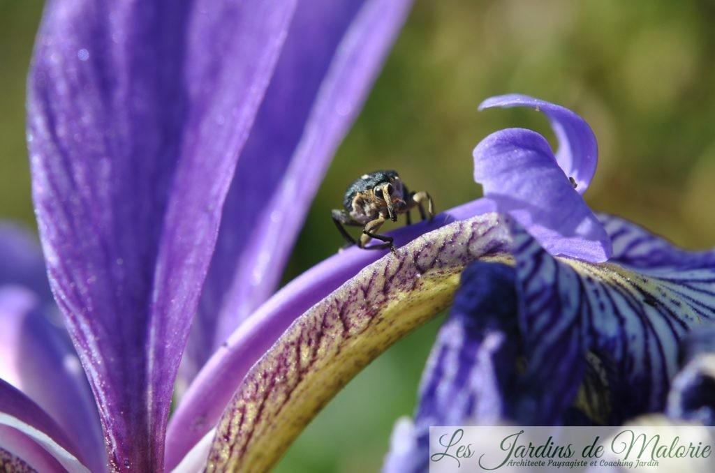 charançon de l'iris des marais (mononychys pseudacoril)