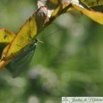 🐝 La chrysope, demoiselle aux yeux d'or, prédatrice de pucerons