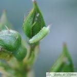 🐝  Auxiliaires du jardinier: les larves de syrphe