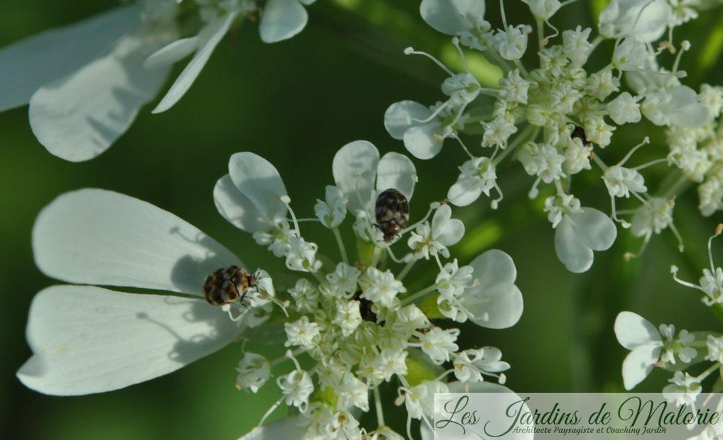 Anthrenus verbasci, ou Anthrène du bouillon blanc, ou encore Anthrène bigarrée des tapis, (2mm)