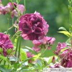 Focus sur le rosier 'Burgundy Ice'