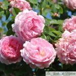 ❤  Focus sur le rosier 'Constance Spry'
