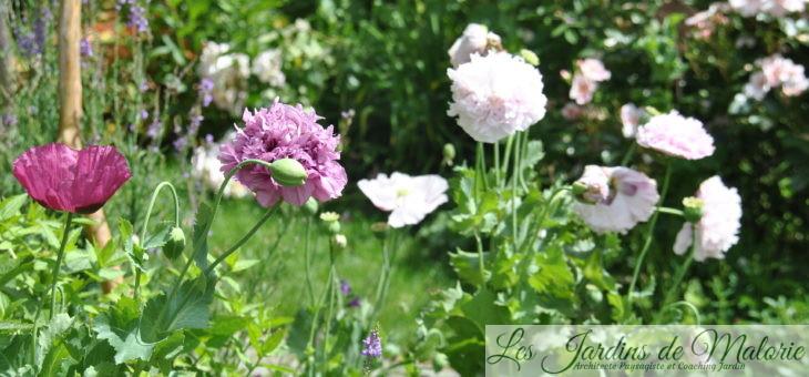 Chroniques de mon jardin : le temps des pavots