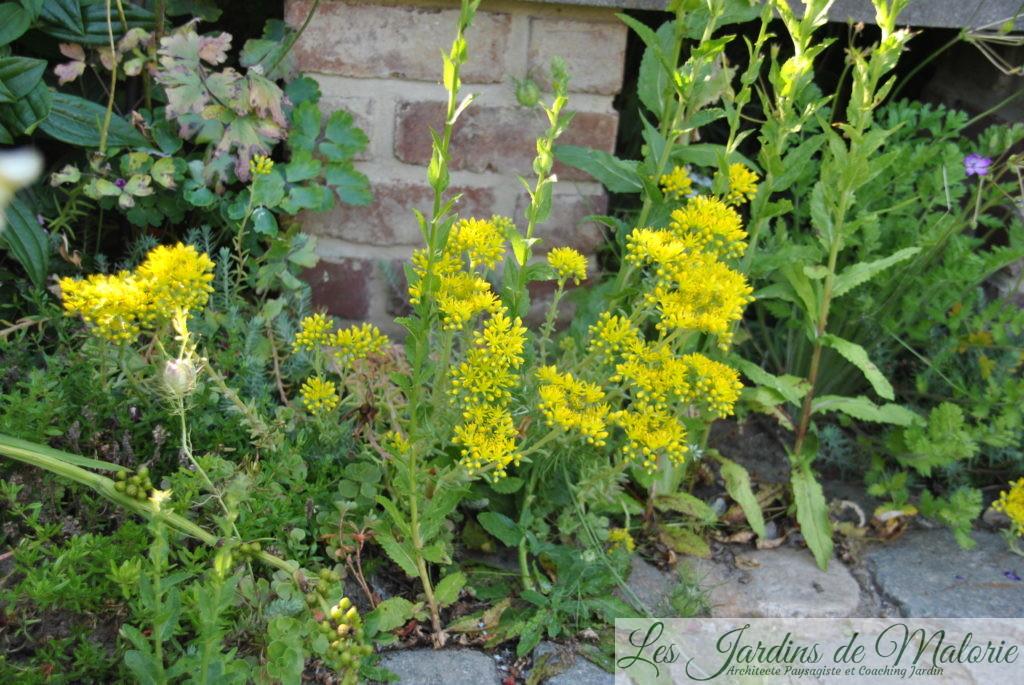 Sedum spathulifolium 'Purpureum' (Orpin)