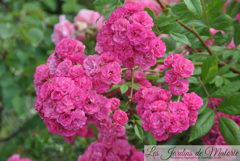 rosa 'Dinky', Obtenteur: Ann Velle Boudolf (Be) 2002, Moschata, Arbustif 100 à 120 x 80 à 100 cm, rose fuchsia, très remontant (06-09), Très sain, convient aussi en pot, Rustique à-20°