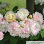 ❤ ❤  Focus sur le rosier 'André Brichet'