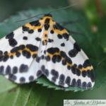 🦋 Papillon : Zérène du groseillier
