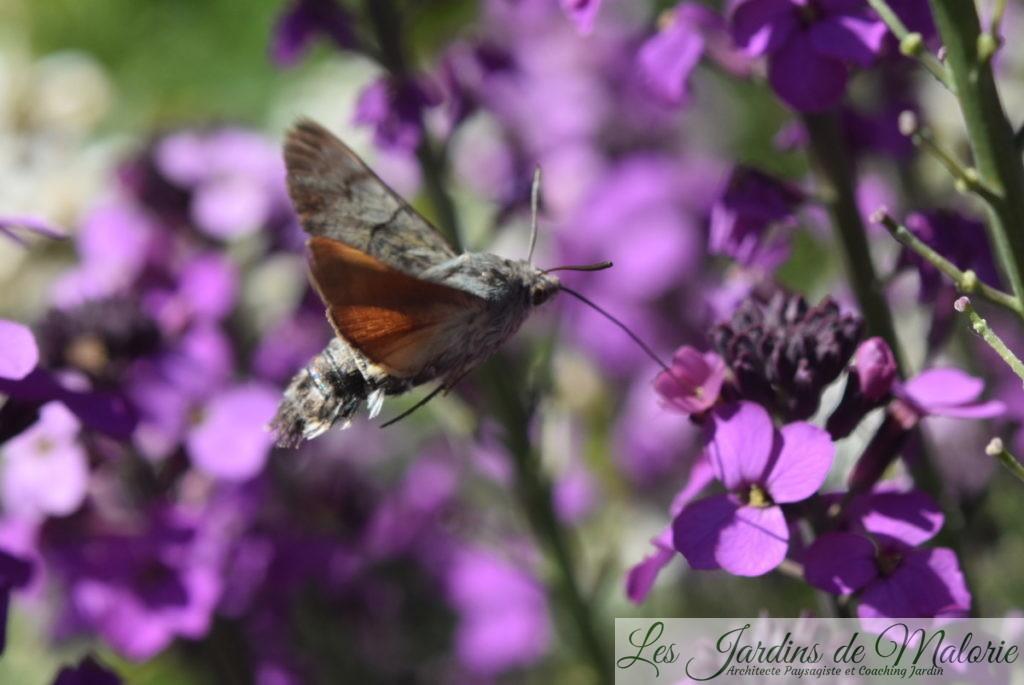 papillon Moro sphinx