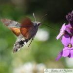 🦋 Papillon Moro Sphinx