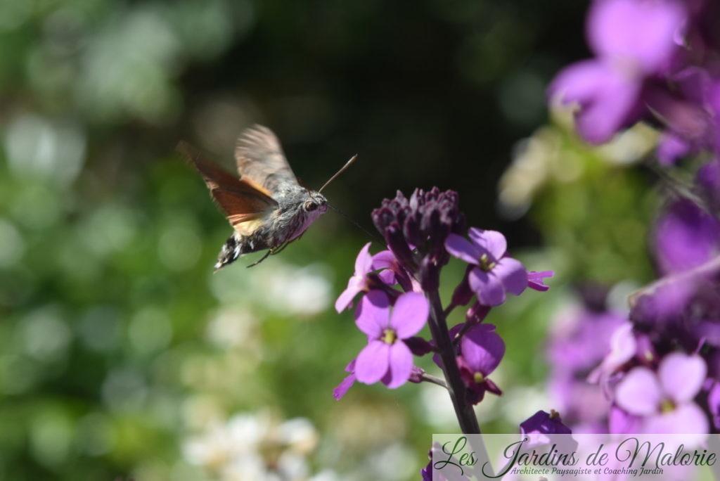 Papillon Moro-sphinx, Sphinx colibri (Macroglossum stellatarum)