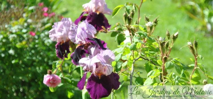 Iris des Jardins, c'est le moment de les planter!