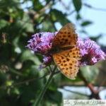 🦋 Recensement des papillons du jardin pour Natagora (2019)
