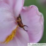🐝  Le perce-oreilles, un auxiliaire du jardinier