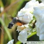 🦋 Papillon Moro Sphynx