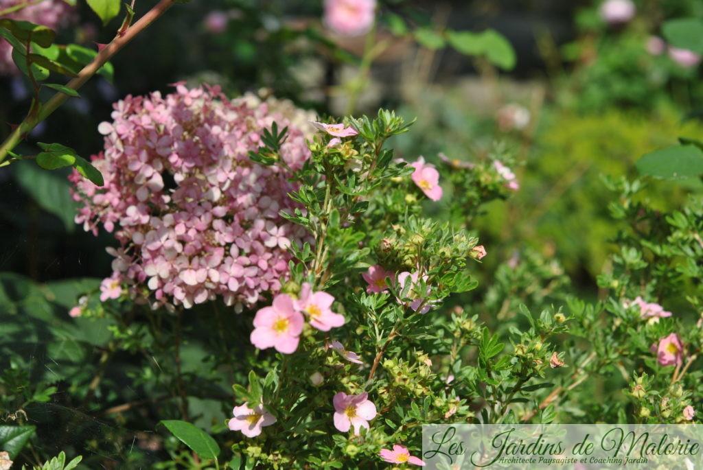 hydrangea arborescens 'Pink Annabelle' et potentille arbustive