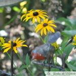 Rudbeckia 'Goldsturm', soleil d'automne!