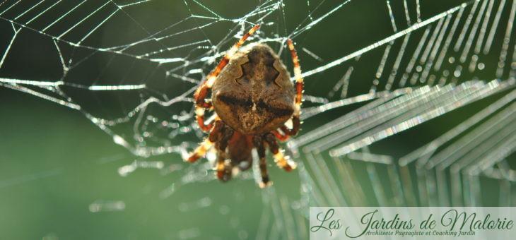 🕷 Araignée: Épeire à dents de scie (Araneus angulatus)
