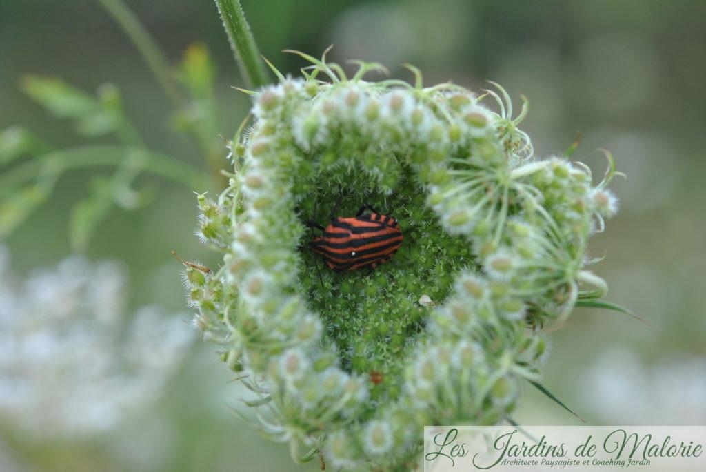 la punaise rayée rouge et noire (graphosome italien) fréquente l'été les ombellifères.