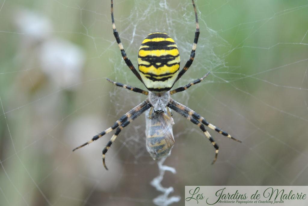araignée, l'Argiope frelon