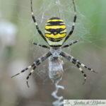 Argiope rayée, noire et jaune, une belle araignée!