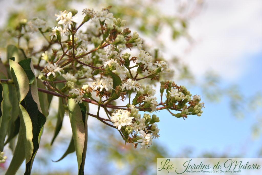 floraison de l'heptacodium