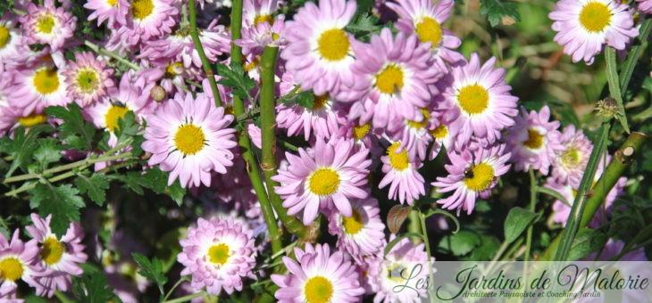 'Violaine', joli chrysantheme vivace
