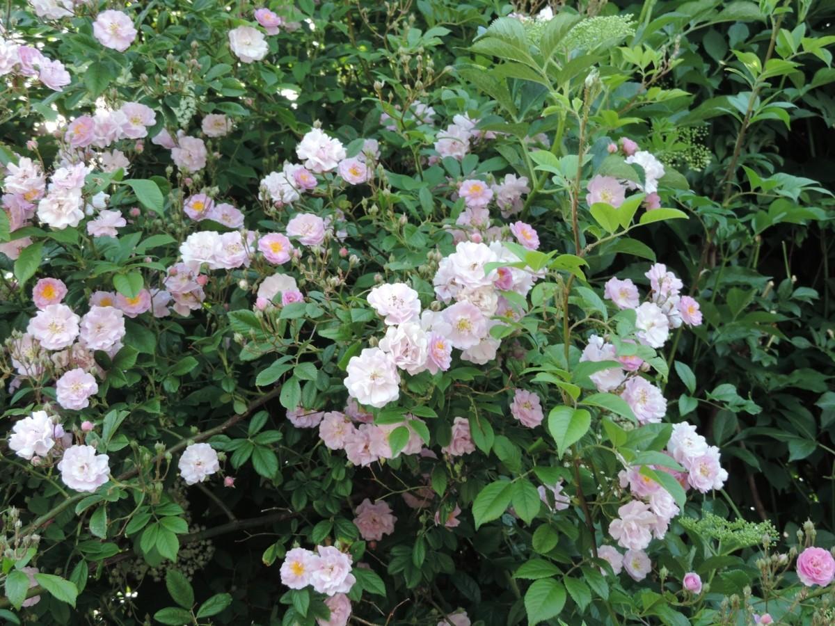 rosier 'Eleonore Berkeley'