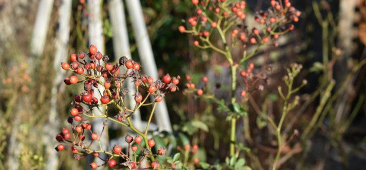 Les cynorrhodons de mon jardin… Top 10