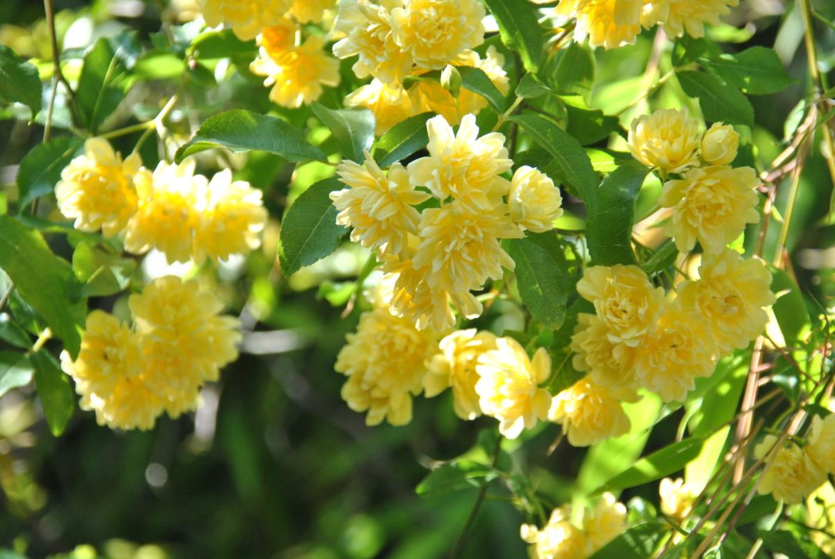 rosier de 'Banks' , Banksiae lutea