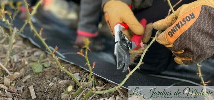 10 conseils pour bien tailler vos rosiers