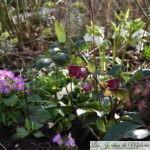 Chroniques de mon jardin: fleurs de février