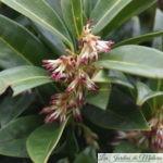 Sarcococca Hoockeriana 'Humilis'