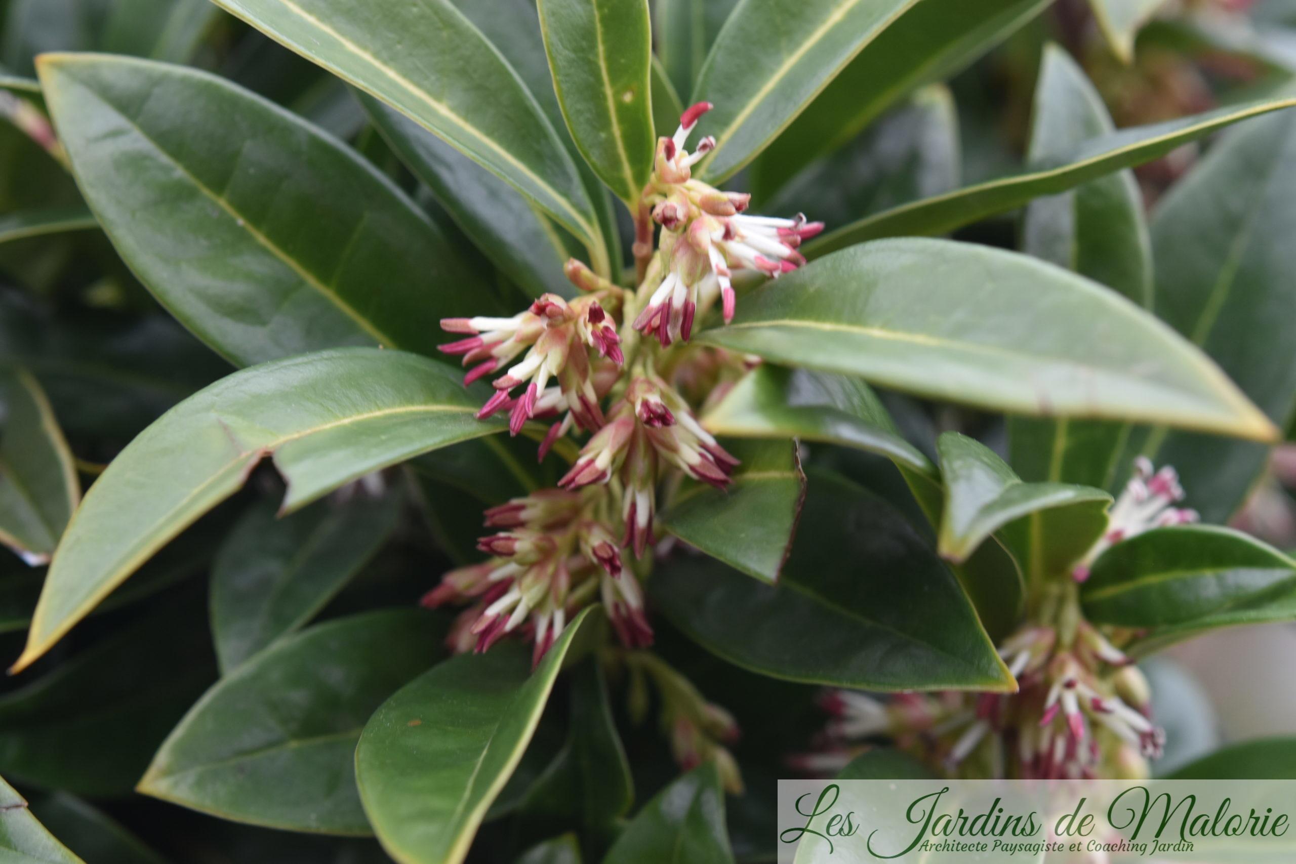 Arbuste Pour Terrain Calcaire sarcococca hoockeriana 'humilis' - les jardins de malorie
