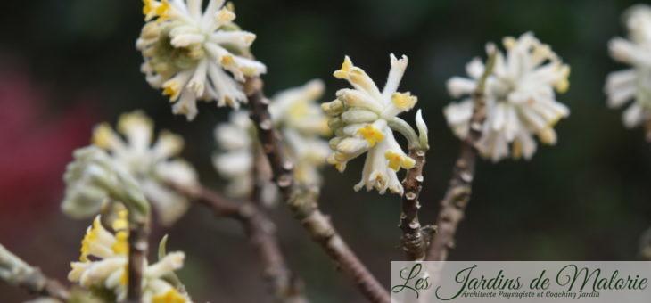 Edgeworthia chrysantha, un arbuste original!