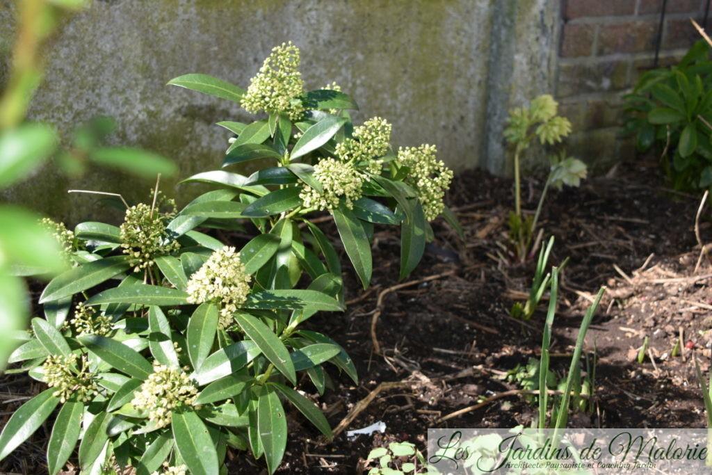 skimmia 'Kew Green' et hellébore verdâtre